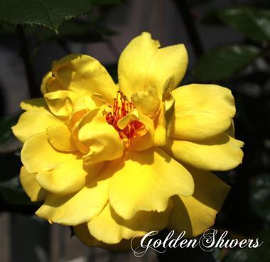 Goldenshowersimg_0144_convert_200_2
