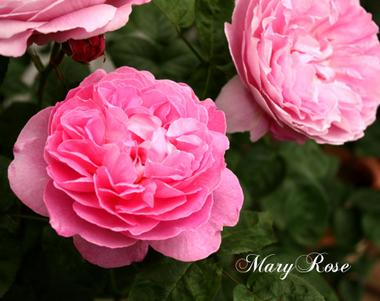 Maryroseimg_0226_convert_2009050518