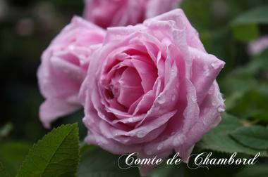 Comtedechambordimg_0449_convert_2_2
