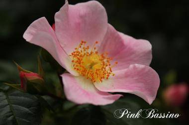 Pinkbassinoimg_0525_convert_20090_2